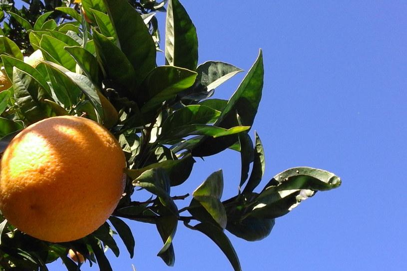 Pomarańcze prosto z drzewa /INTERIA.PL