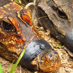 Pomarańczowe krokodyle z Gabonu