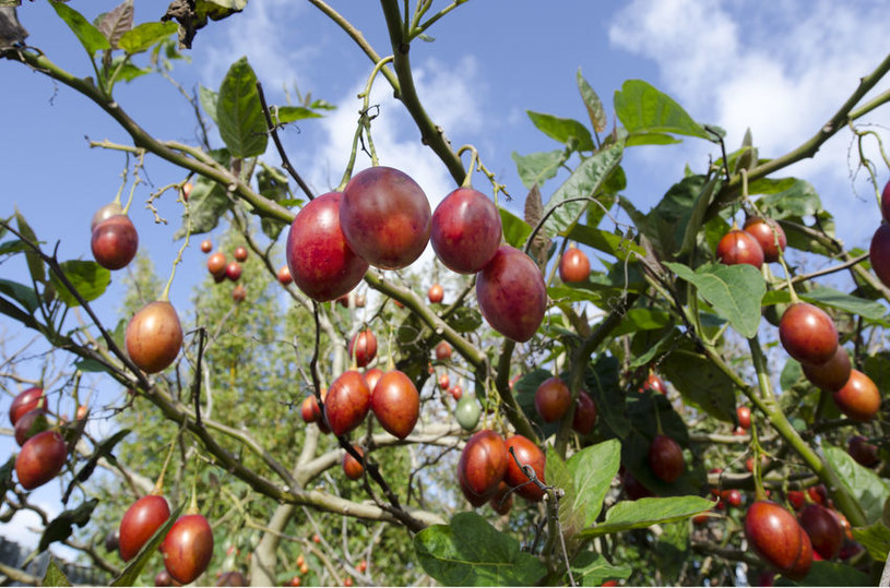 Pomidor drzewiasty /©123RF/PICSEL