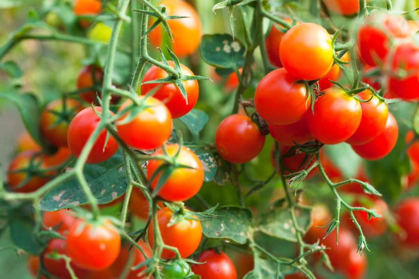 Pomidorki koktajlowe /©123RF/PICSEL