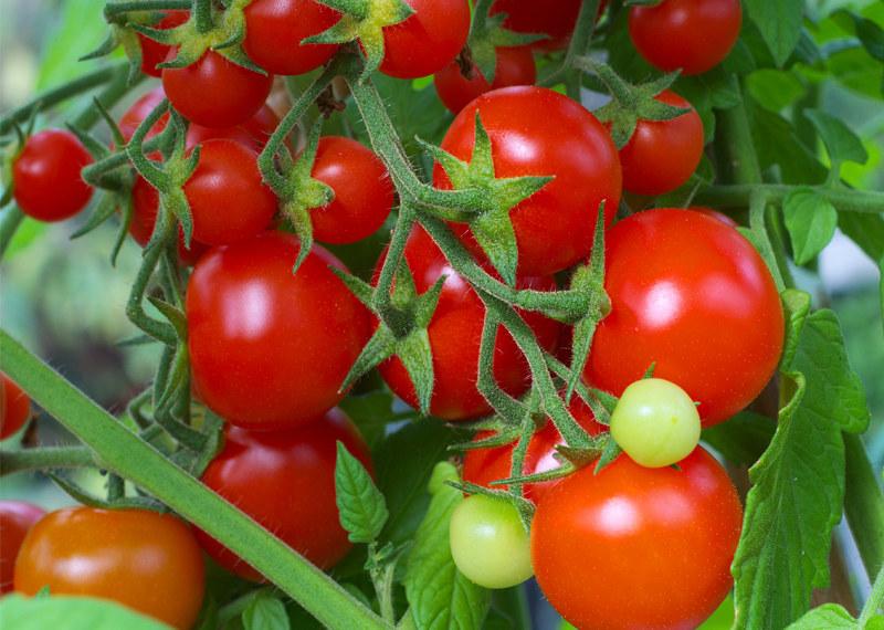 pomidorki /© Photogenica