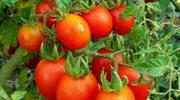 Pomidorowa kuracja na piękną linię