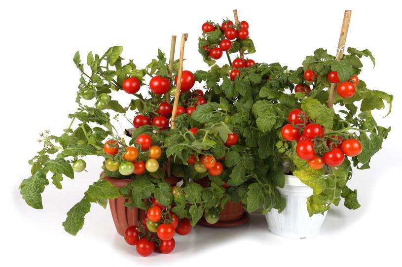 Pomidory bujnie rosną w donicach /123RF/PICSEL