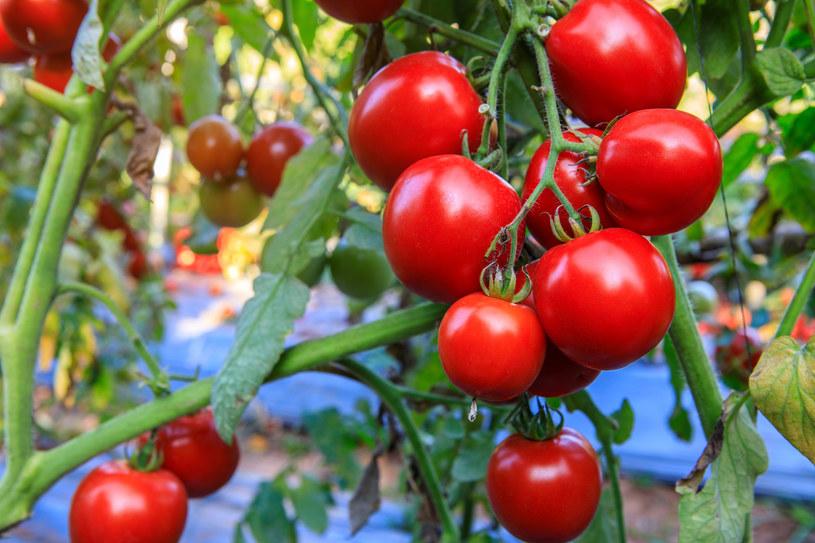 Pomidory, papryka i pnąca fasola mogą być sadzone w wiadrach lub doniczkach podobnej wielkości /123RF/PICSEL
