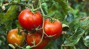 Pomidory: Pełnia zdrowia i smaku