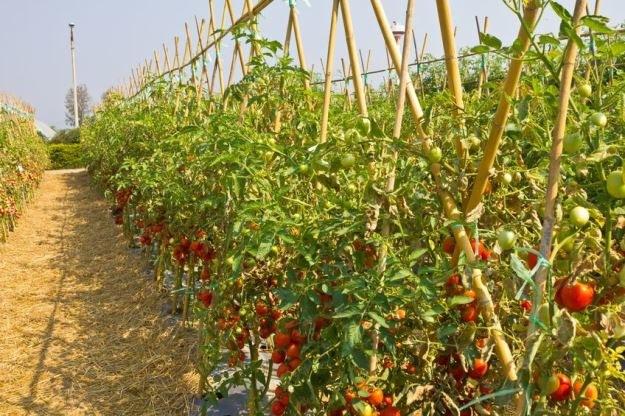 Pomidory zmniejszają ryzyko wystąpienia raka piersi /123RF/PICSEL