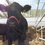 Pomogła petycja ws. krowy, która nielegalnie przekroczyła granicę. Penka uratowana