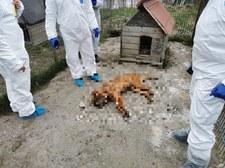 Ponad 250 martwych psów w pseudohodowli. Jej właściciele wychodzą na wolność