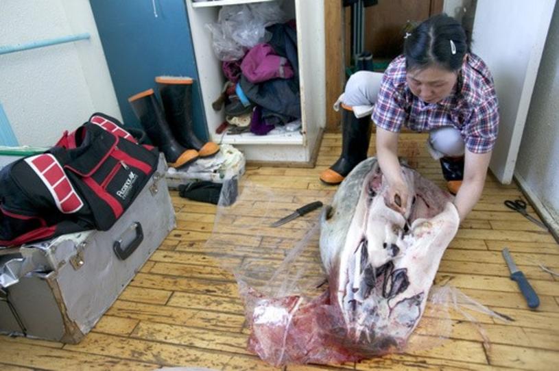 Poporcjowane mięso foki wkłada się do worka. W ten sposób transportuje się je do domu /East News