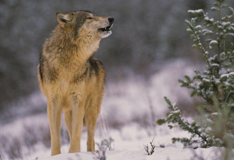 Populacja wilków w czarnobylskiej zonie odradza się /123RF/PICSEL