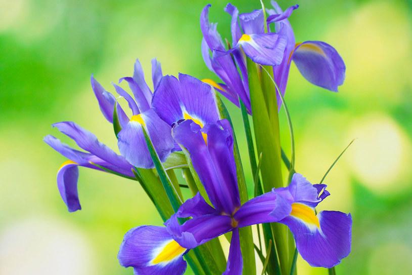 Popularne w naszych ogrodach irysy to kosaćce bródkowe /123RF/PICSEL