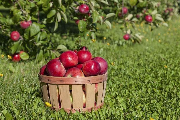 Popyt na polskie jabłka jest wyższy niż podaż. Ceny poszybowały w górę /©123RF/PICSEL