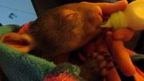 Pora karmienia osieroconego wombata