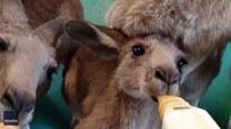 Pora karmienia osieroconych kangurów. Urocze?