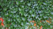 Poradnik ogrodniczy: Praktyczne pnącza