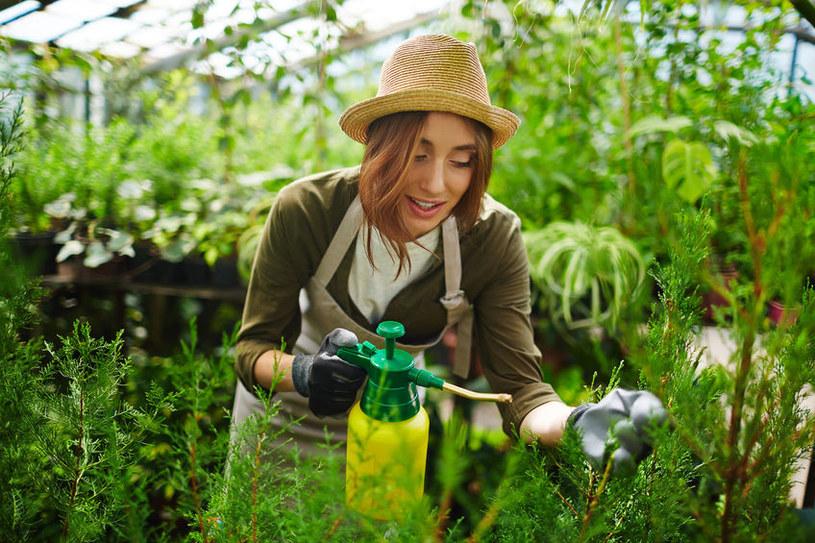 Porażone tuje można opryskać środkiem owadobójczym /123RF/PICSEL
