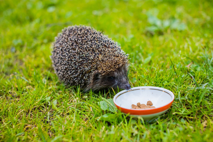 Porcja pokarmu dla jeża nie powinna być większa niż łyżka /123RF/PICSEL