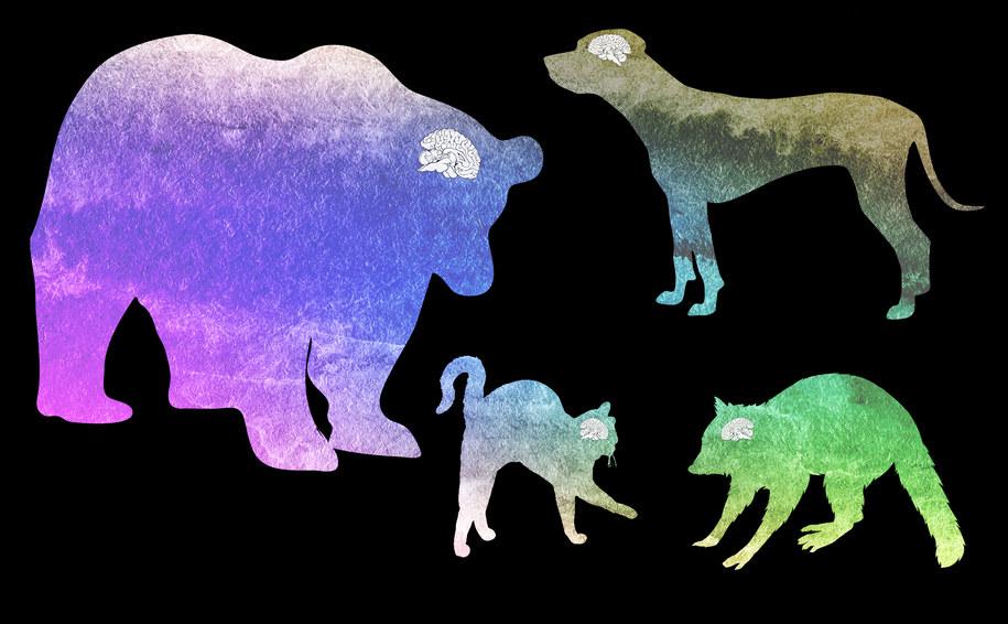 Porównanie rozmiarów mózgu różnych drapieżników /Jeremy Teaford, Vanderbilt University /Materiały prasowe