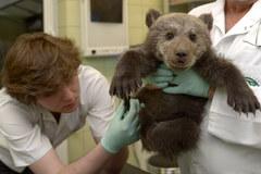 Porzucony w Bieszczadach przez matkę niedźwiadek