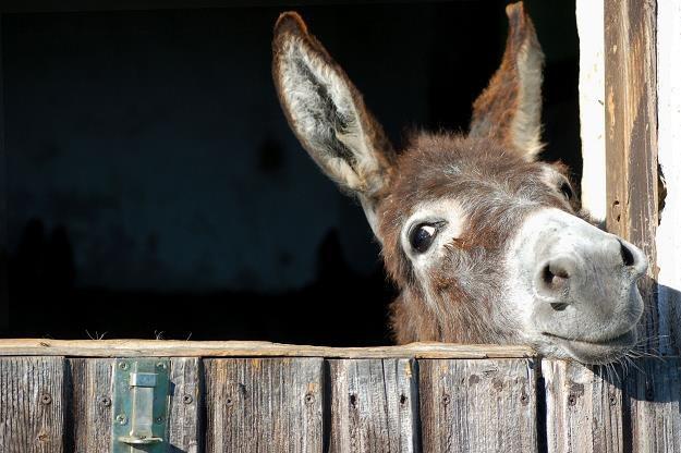 Posłowie zmienili zasady rejestracji koniowatych (koń, osioł, zebra) /©123RF/PICSEL