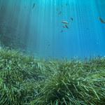 Posydonia: Niesamowita trawa likwidująca plastik