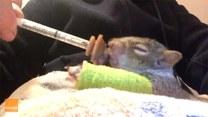 Poszkodowana wiewiórka trafiła w dobre ręce. W wyniku wichury złamała łapkę