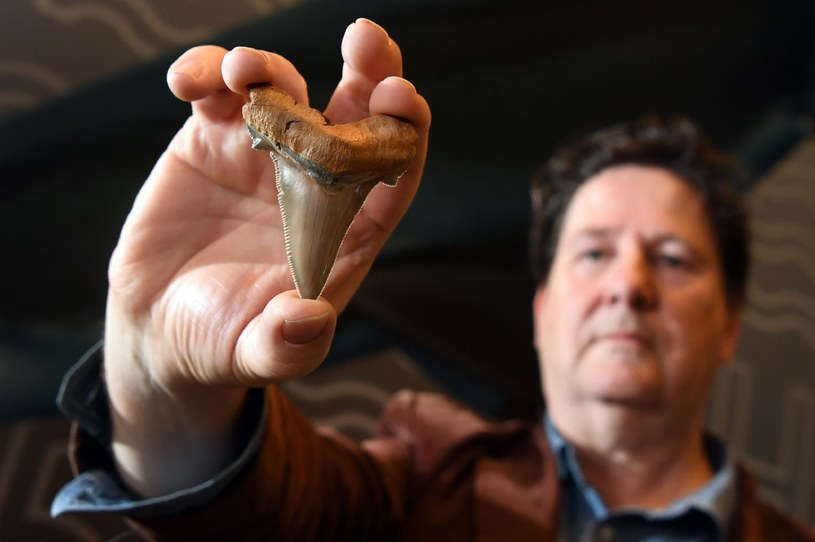 Poszukiwacz-amator Philip Mullaly znalazł zęby prehistorycznego rekina /WILLIAM WEST / AFP /East News