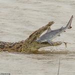 Potężny krokodyl pożera rekina. Niesamowite sceny w Afryce