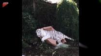 Potężny tygrys harcuje jak kotek. Zabwane