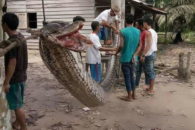Potężny wąż zabity przez Roberta Nababana /materiały prasowe