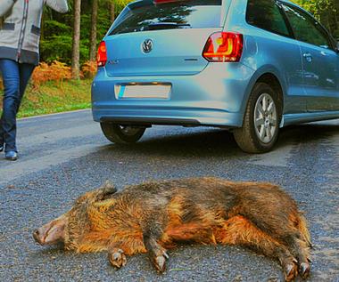 Potrącenie zwierzęcia - jak się zachować?