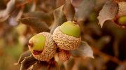 Potrawy z żołędzi wracają do łask