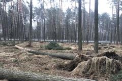 Powalone drzewa po nawałnicy. Usuwanie skutków może zająć kilka miesięcy
