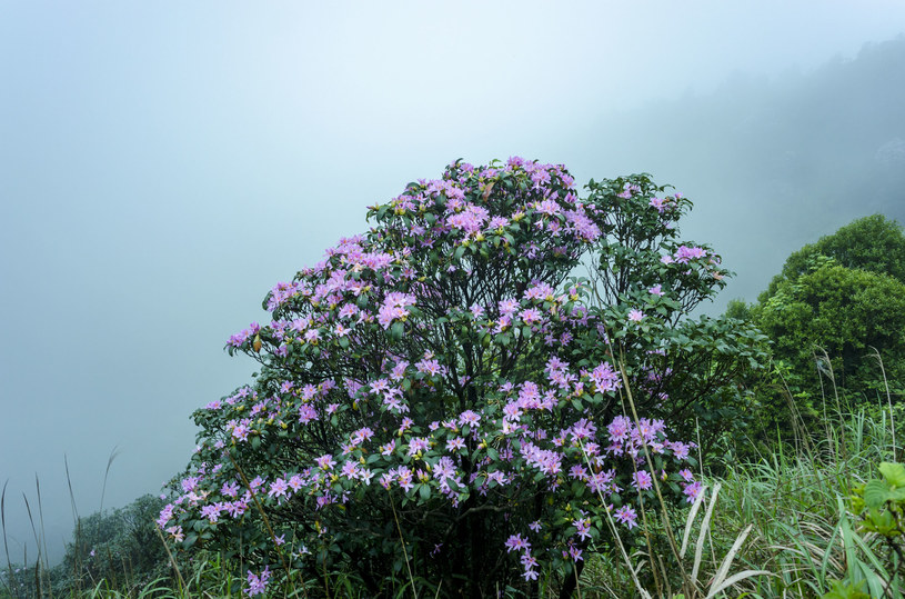 Powojnik górski w naturalnym środowisku /123RF/PICSEL