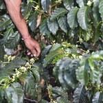 Powrót do zwyżek notowań kawy arabica w USA