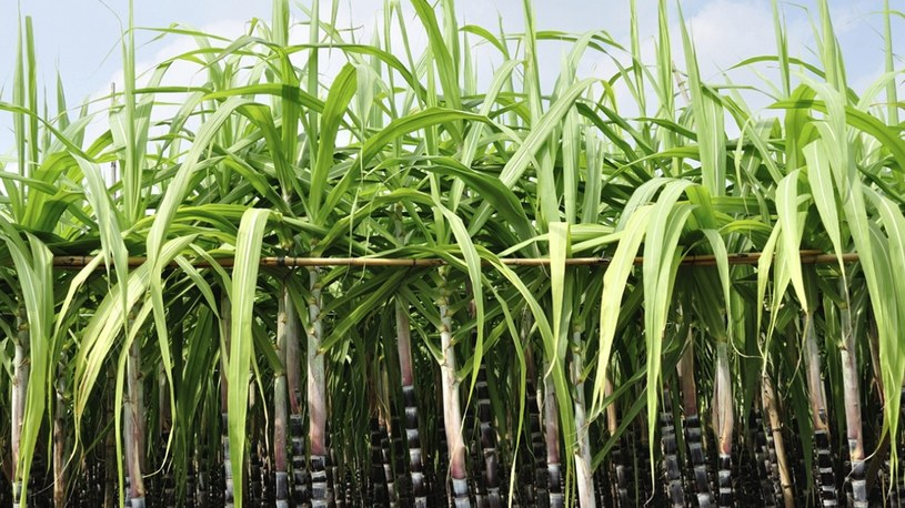 Powstała pierwsza na świecie zmodyfikowana genetycznie trzcina cukrowa /Geekweek