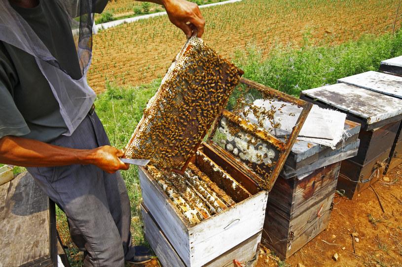 Poza substancjami leczniczymi, pszczoły mogą także uspokoić wibracjami! /123RF/PICSEL
