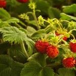 Poziomka - mały, pyszny owoc o wielkiej mocy
