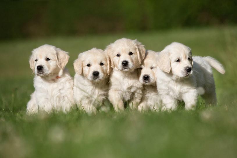 Poznać rasę psa po szczenięciu? To nie takie łatwe! /123RF/PICSEL