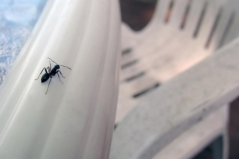 Pożyteczne mrówki mają gniazda poza budynkami, a do naszych domów robią krótkie wypady /© Photogenica