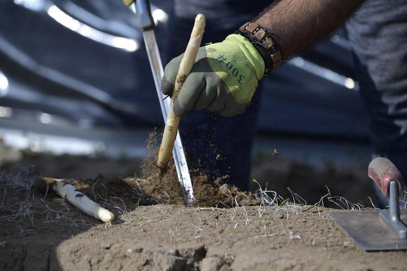 Praca na farmie szparagów, zdjęcie ilustracyjne /TOBIAS SCHWARZ / AFP /AFP
