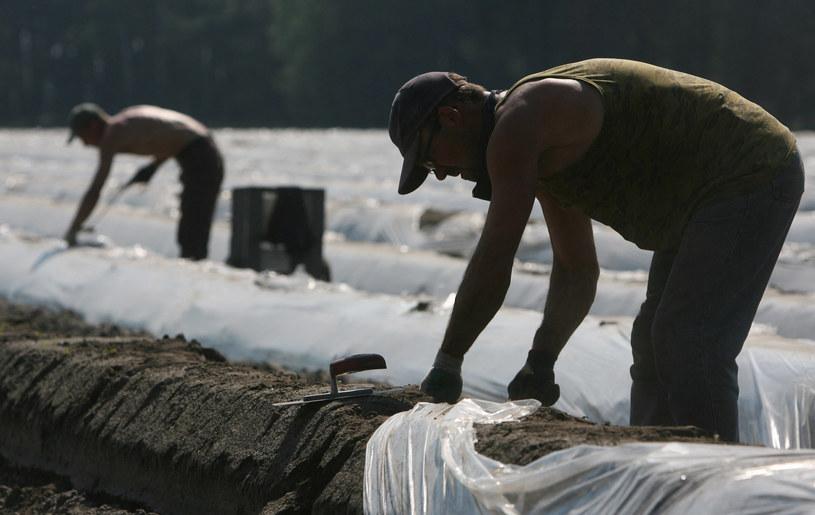 Praca przy szparagach, zdjęcie ilustracyjne /JOHN MACDOUGALL / AFP /AFP