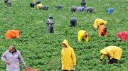 Praca w Niemczech: 227 euro za 17 dni ciężkiej pracy