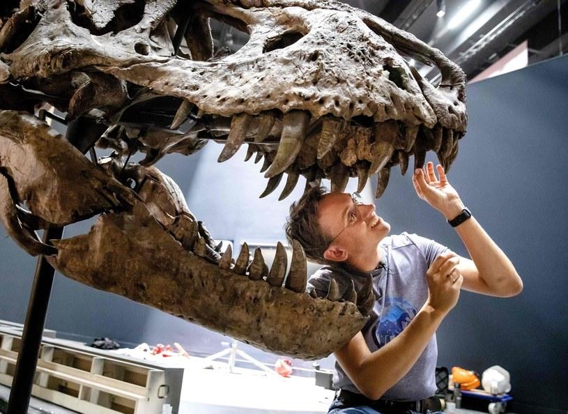 Prace przy szkielecie tyranozaura rexa /AFP
