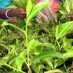 Pracownicy podpalili dom właściciela plantacji herbaty