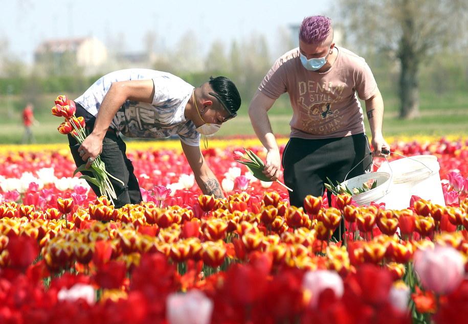 Pracownicy w maseczkach na plantacji tulipanów w Arese /MATTEO BAZZI    /PAP/EPA