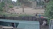 Pracownik zoo w Melbourne przyłapany na tańcu. Ukryty talent?
