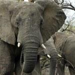 Praprzodek słoni był wielkości królika