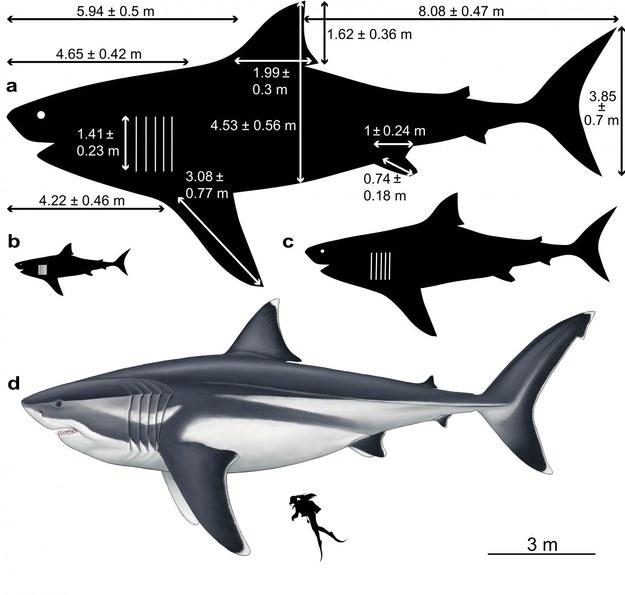 Prawdopodobne rozmiary megalodona na różnych etapach życia /Oliver E. Demuth /Materiały prasowe