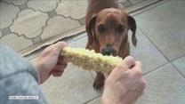 Prawdziwy fan gotowanej kukurydzy